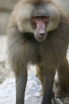 Free Hamadryas Baboons Royalty Free Stock Photo - 3599935
