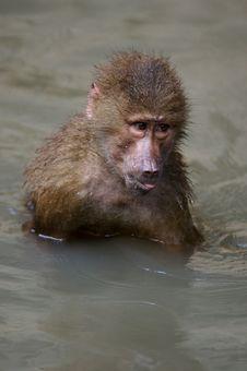 Free Hamadryas Baboons Royalty Free Stock Image - 3599946