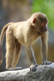Free Hamadryas Baboons Stock Photography - 3599992