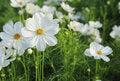 Free Cosmos Flowers Royalty Free Stock Photo - 35900135