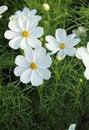 Free Cosmos Flowers Stock Image - 35900191