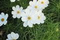 Free Cosmos Flowers Stock Photos - 35900363