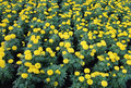 Free Marigold Flower Field Stock Images - 35900534