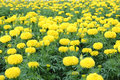 Free Marigold Flower Field Stock Photo - 35900850