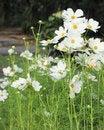 Free Cosmos Flowers Royalty Free Stock Photos - 35901088