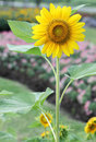 Free Sunflower In Garden Stock Photos - 35901343