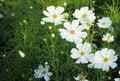Free Cosmos Flowers Stock Photo - 35901680