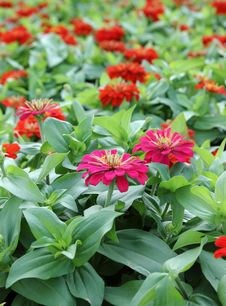 Free Zinnia Flowers Royalty Free Stock Photo - 35900715