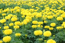 Free Marigold Flower Field Stock Photo - 35900850