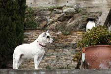 Free Small White Dog Royalty Free Stock Image - 35901556