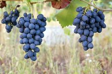 Free Purple Red Grapes Royalty Free Stock Photo - 35904235