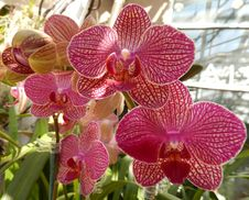 Free Radiant Pink Orchids In Bloom Royalty Free Stock Image - 35905216