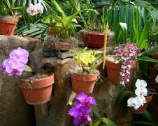 Free Colorful Orchids In Flower Pots Royalty Free Stock Images - 35905619