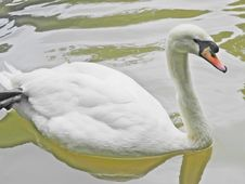 Free White Swan Royalty Free Stock Photography - 35906157