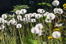 Free White Dandelions On Black Stock Image - 35910531