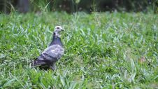 Free Pigeon In The Garden Royalty Free Stock Photography - 35911157