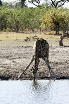 Free Solitary Giraffe Drinking From A Great Height Stock Photography - 35913632