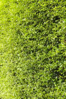 Free Green Creeper Plant Royalty Free Stock Photography - 35914227