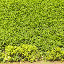 Free Green Creeper Plant Royalty Free Stock Image - 35914296