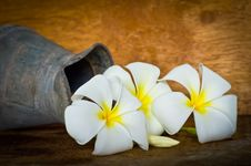 Free White Plumeria Stock Images - 35914624