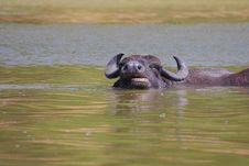Free Water Buffalo &x28;Bubalus Bubalis&x29;. Stock Images - 35914774