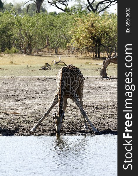 Solitary Giraffe Drinking from a Great Height
