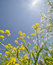 Free Summer Yellow And White Wildflowers On Blue Sky Royalty Free Stock Photography - 35915497