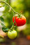 Free Fresh Red And Green Tomatoes Royalty Free Stock Image - 35917266
