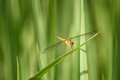 Free Yellow Dragonfly Royalty Free Stock Image - 35928306