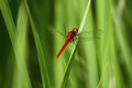 Free Red Dragonfly Royalty Free Stock Photography - 35928337