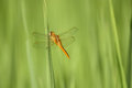 Free Yellow Dragonfly Stock Images - 35928404