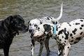 Free Three Dogs, Two Dalmatians And Black Labrador Royalty Free Stock Photo - 35929545