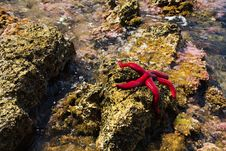 Free Starfish Royalty Free Stock Images - 35929279