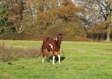 Free A Foal In An English Meadow Royalty Free Stock Photos - 35929388