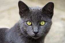 Grey Beautiful Cat With Yellow Eyes Stock Photography