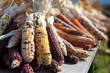 Free Flint Corn At Harvest Time Stock Photos - 35929853