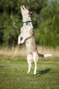 Free Jumping High Dog Royalty Free Stock Image - 35930306