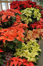 Free Christmas Poinsettia Plants For Sale Royalty Free Stock Photos - 35936638