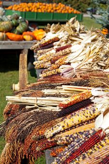 Free Dried Indian Corn On Display On A Farm Royalty Free Stock Photography - 35930007