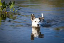 Free Mixed Breed Dog Swims In The Lake Stock Photo - 35930300