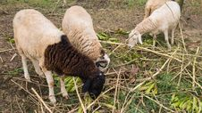 Free The Flock Of Sheep Is Eating Its Food Royalty Free Stock Photos - 35936968