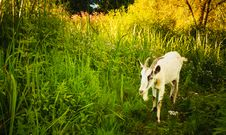 Free White Goat Royalty Free Stock Photography - 35938637