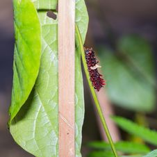 Free Common Rose Caterpillar Royalty Free Stock Image - 35939026