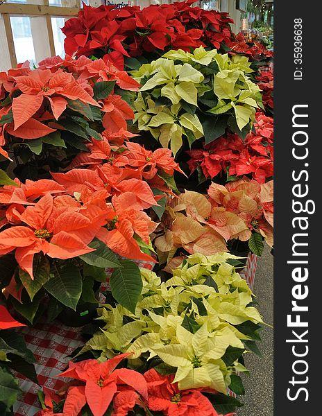 Christmas Poinsettia Plants For Sale