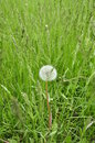 Free Dandelion In The Grass. Royalty Free Stock Image - 35945436