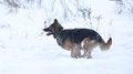 Free Running Dog Stock Image - 35947461