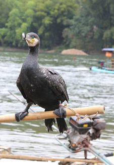 Cormorant Helps To Catch Fish In The Rivers,China Royalty Free Stock Image