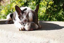 Free Sad French Bulldog Stock Image - 35943661