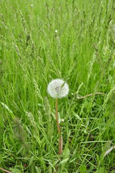 Dandelion In The Grass. Royalty Free Stock Image