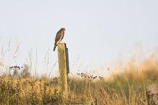 Free Eurasian Sparrowhawk Royalty Free Stock Image - 35948986